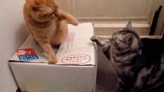 猫のけんかを仲裁するクリ。アメ太ときなこは普段は仲良し。だけど時々...