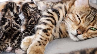 Mom Cat is Exhausted after Cleaning her Sweet Spotted Kittens