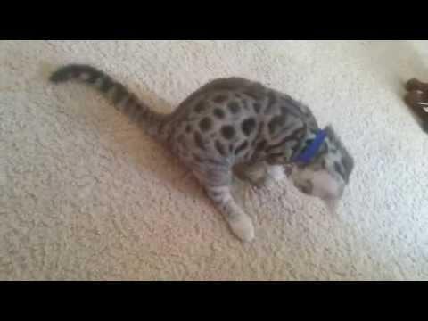 I put a bell collar on my kitten.
