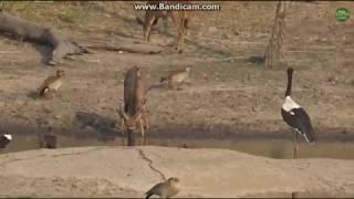 ~ Zwierzęta Afryki -  Żabiru , Gęsi Egipskie , Antylopy , przy wodopoju ~    Safari