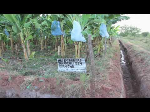 Banana Fusarium Wilt Disease. Interview with Professor Altus Viljoen