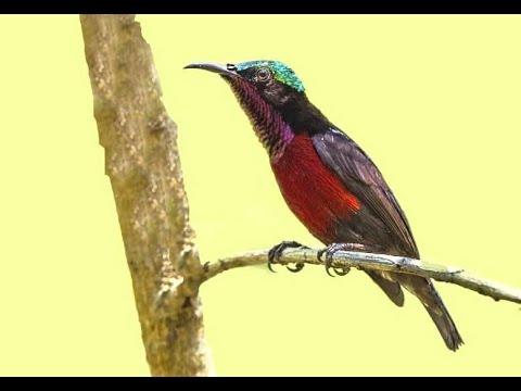 Cara Mudah Menjebak Burung Kolibri Dengan Cara Meng Gantung Pikatnya Tinggi Tinggi Youtube