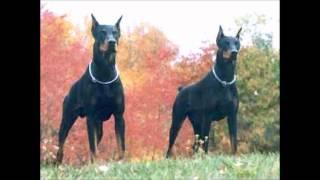 Los Mejores Perros (doberman)
