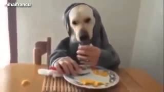 Смешное видео Лабрадор собак Компиляция 2015 NEW Домашние животные и животные