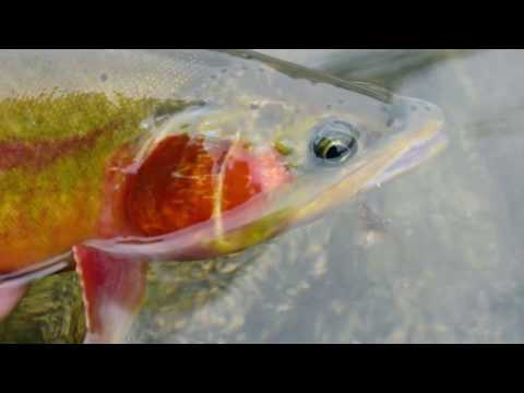 Golden Trout Of THE Wind Range