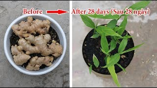 Growing ginger - the fastest way to sprout