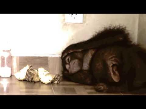 The very sad story of Shelton the Orangutan