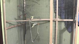 Подготовка к разведению попугаев корелл  Разведение 2