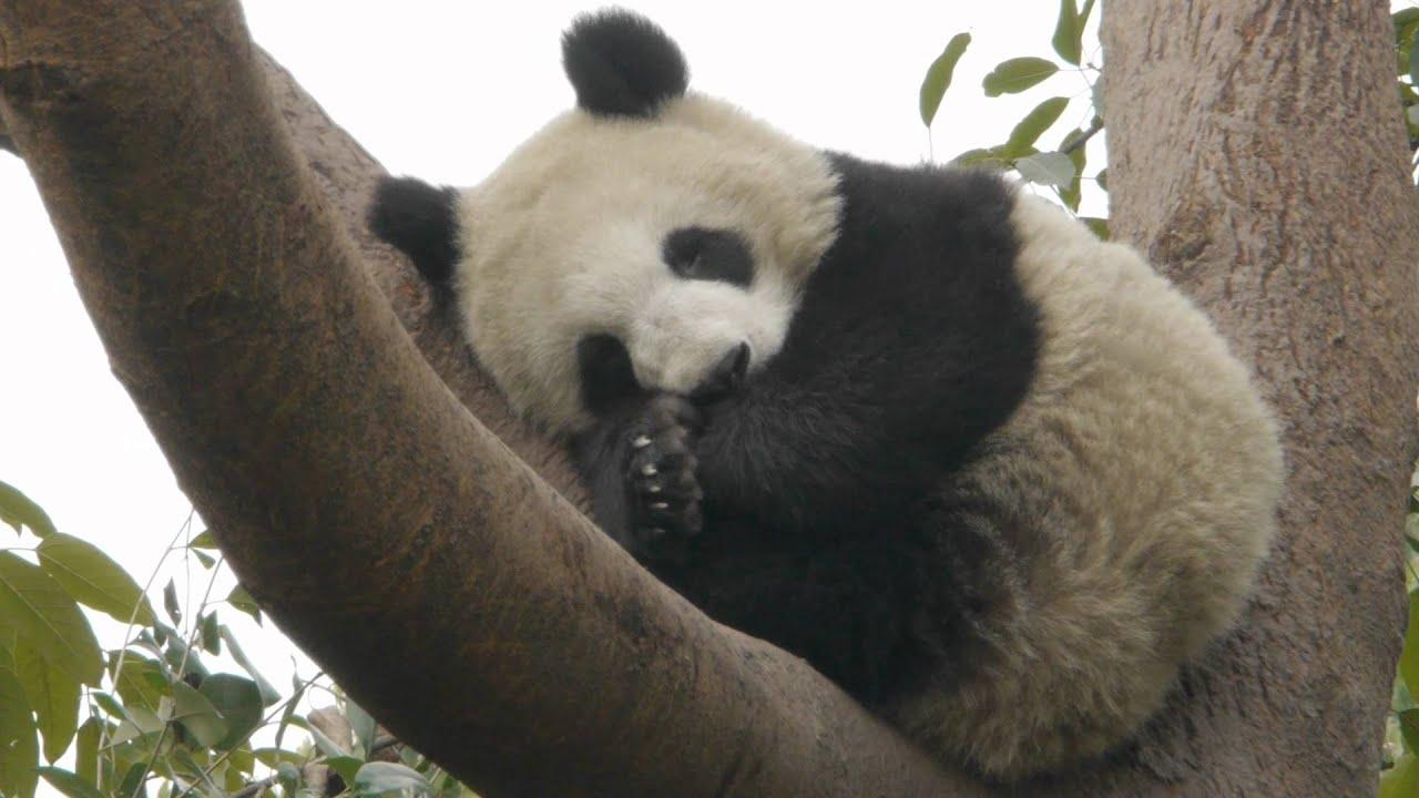 Cute Panda Sleeping - YouTube