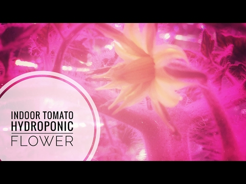 First Mortgage Lifter tomato plant flower, indoor Deepwater culture  – this flower means business