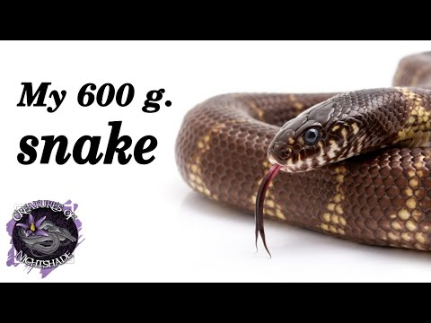 My 600g Snake | Funny Snake Documentary | Creatures of Nightshade