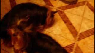 Yorkshire Terrier Miniature Female In Heat!