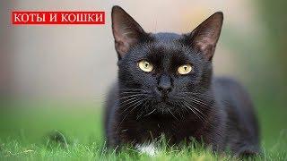 Коты и Кошки | Если Чёрный Кот Дорогу Перейдёт