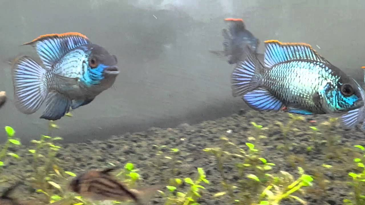 Electric Blue Acara Pairing Up? - YouTube