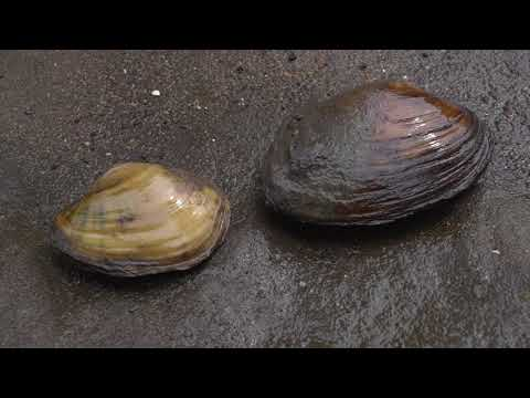 Mussel Reproduction Process | Iowa Land And Sky