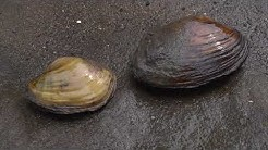 hqdefault - Orange Footed Pimpleback Mussel