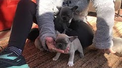 Lilac French Bulldog puppies (for sale)