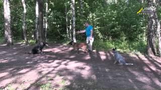 Дрессировка стаи собак, управление направлением