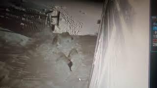 Волки едят собак в той самой Нёноксе Архангельской области