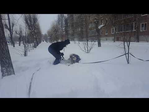 Маламут радуется снегу / The Malamute enjoys the snow / МАЛАМУТЛЯНДИЯ