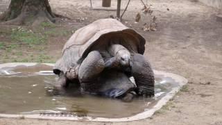 千葉動物公園にて。 最初、交尾なのかと思いきや、乗っかってみっちもさっちもいかなくなっていた亀さん。