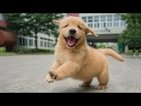 Funniest & Cutest Golden Retriever Puppies Compilation #8 - Funny Puppy Videos 2019