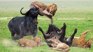 Wonderful Friendship! Herd Buffalo Ventures 3 Times To Save Friend and Make The Lion's Plot Fail
