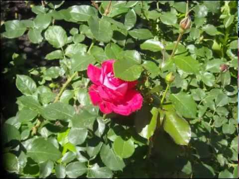 Как расцветают розы в Краснодаре