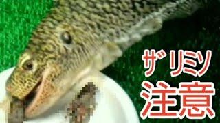 【超絶閲覧注意】ペットのオオトカゲにザリガニを与える動画です。 苦手...