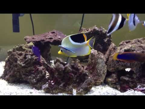 Saddleback Butterflyfish Is Being Cleaned