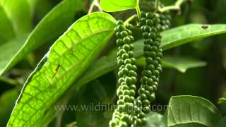 Black Pepper plantation in Karnataka