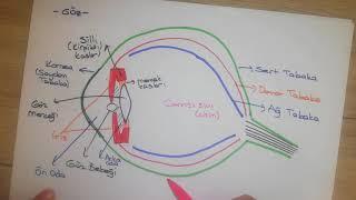 6.Sınıf Fen / Göz ve Deri / Duyu organları 1.Bölüm