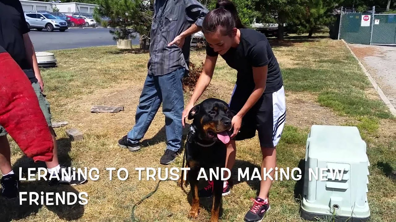 2 Year Old Rottweiler Maverick Beforeafter Video Rottweiler