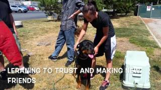 "2-year Old Rottweiler ""maverick:""  Before/after Video! Rottweiler Trainers In Virginia, Dc, And Md"
