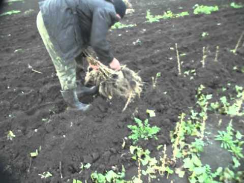 видео: Саженцы черной смородины Юбилейная Копаня
