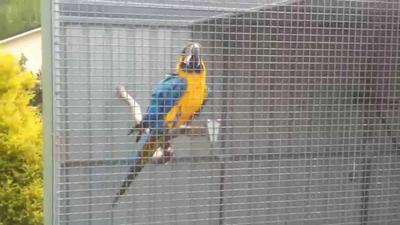 macaws for sale by backyard birds australia youtube
