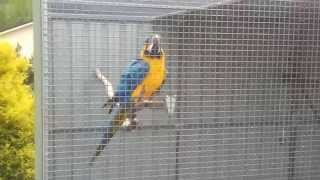 macaws for sale by backyard birds australia