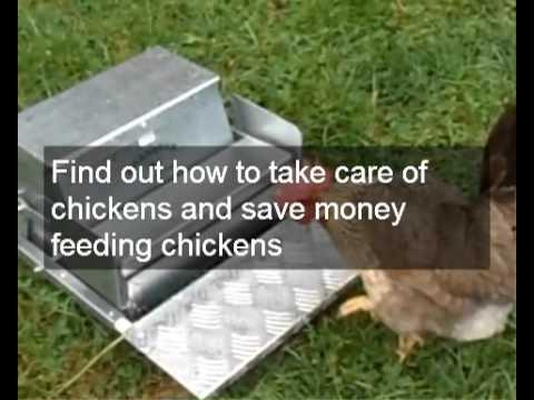 Happy chicken care & chicken health | Holistic chicken care | chicken Manure & Hygienic chicken care