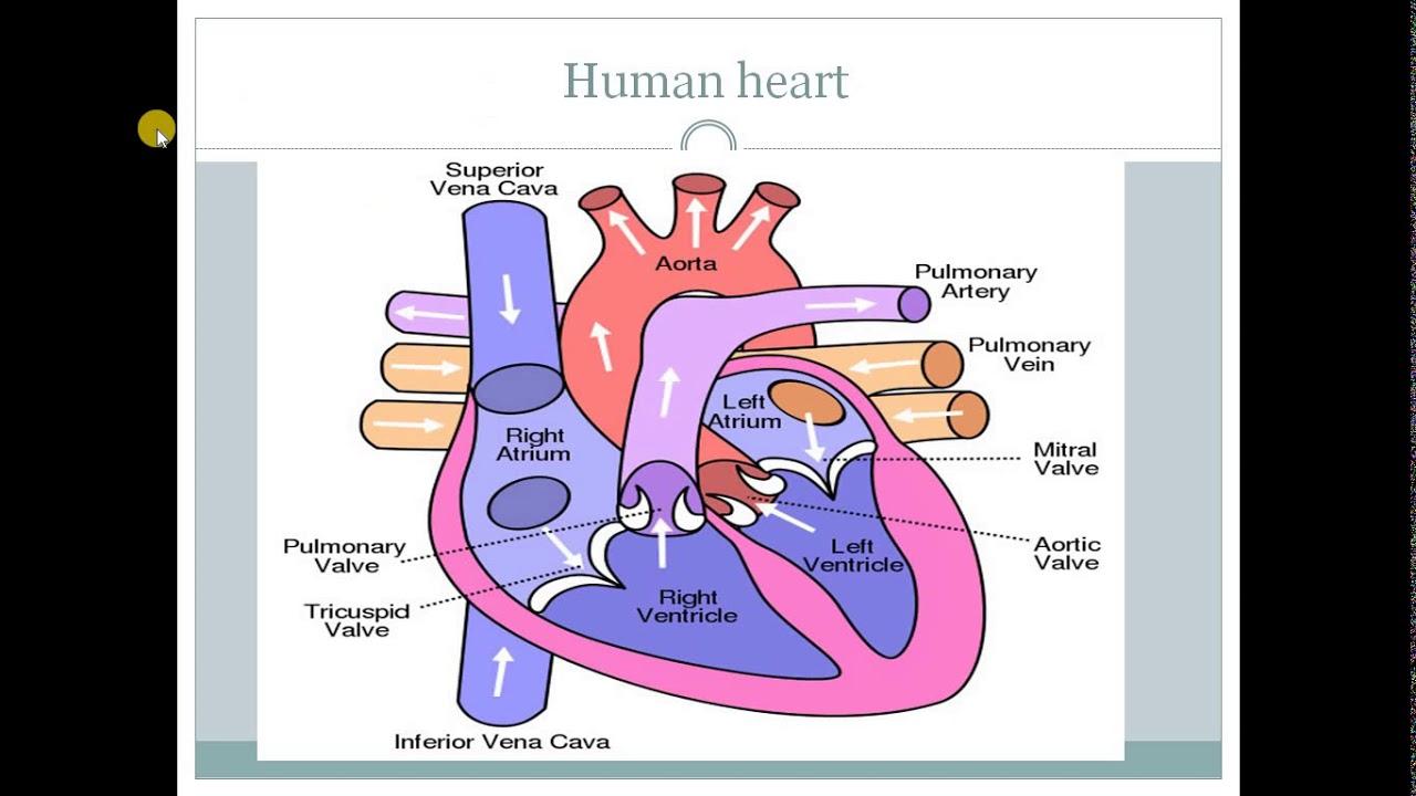 Human heart - YouTube