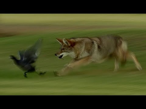 Coyote Hunts Birds | BBC Earth
