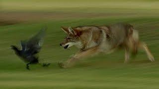 Coyote Hunts Birds | BBC Earth