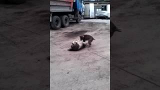 Драка моих собак