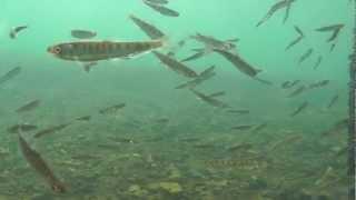 千歳サケのふるさと館の水中観察室から毎年春に見えるサケ稚魚の群れ.