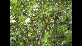 Bẫy cu gáy, tuyệt đỉnh mồi cây ( tổng hợp )