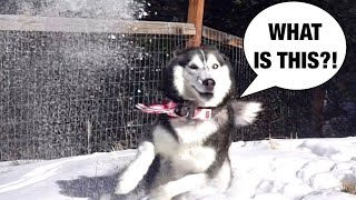 Meeka The Husky Sees Snow For The FIRST Time! ❄️ ⛄️
