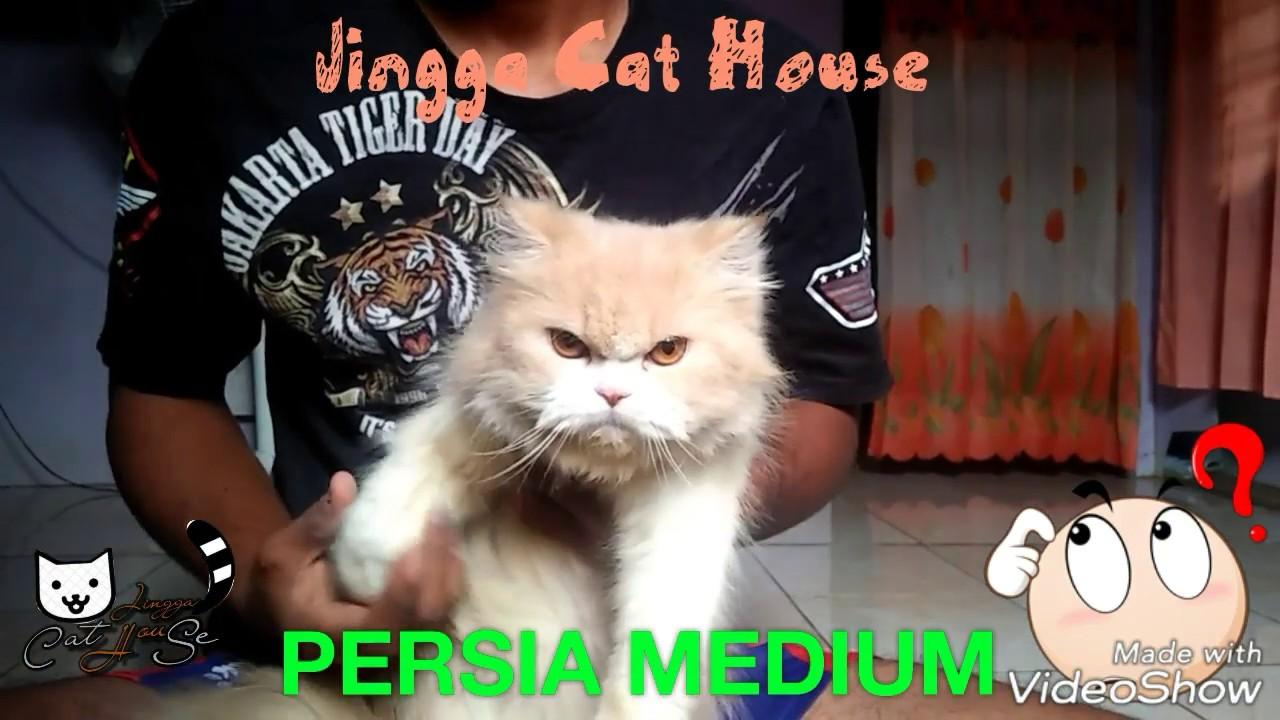 Unduh 61+  Gambar Kucing Persia Medium Asli Paling Lucu