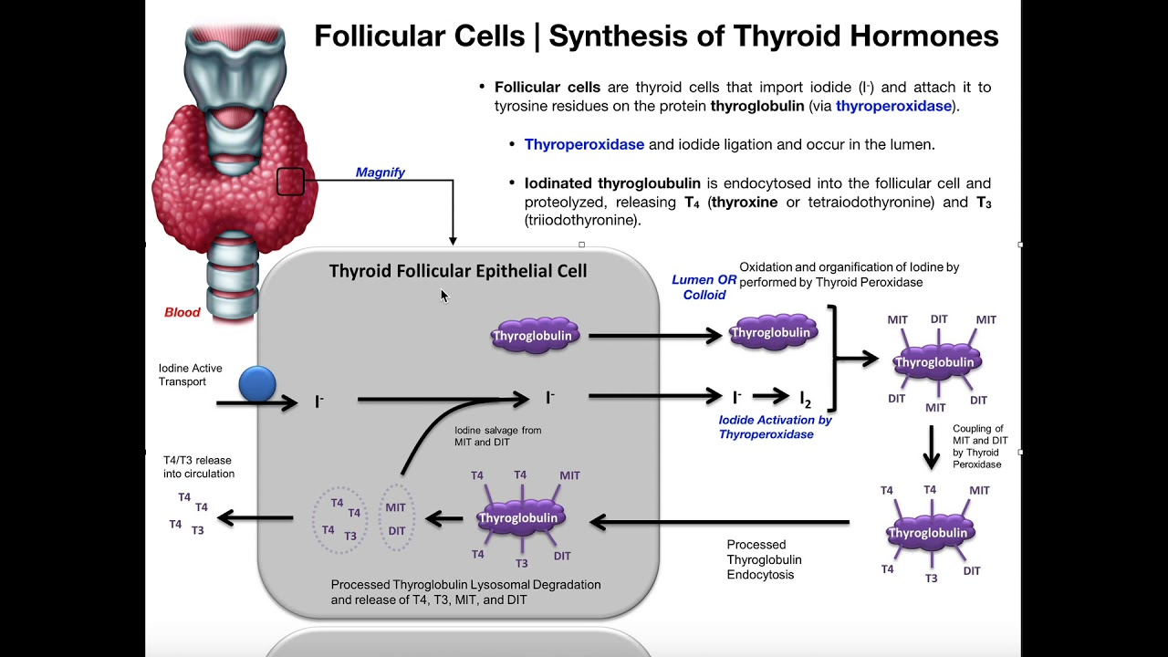 Follicular Cells The Synthesis Of Thyroid Hormones Youtube