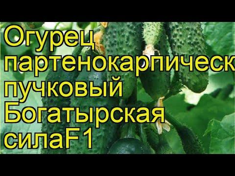 Огурец Богатырская сила. Краткий обзор, описание характеристик, где купить семена cucumis sativus | богатырская | описание | краткий | огурец | обзор | сила | sativus | cucumis | ог