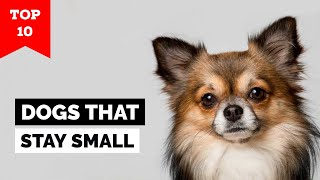 Top 10 Dog Breeds That Stay Small