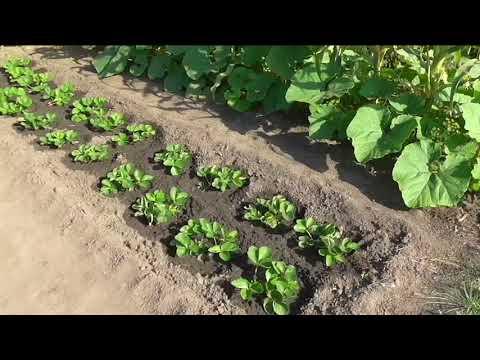 Вопрос: Как посадить огород?